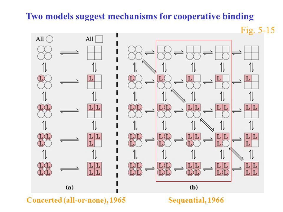 Two models suggest mechanisms for cooperative binding Concerted (all-or-none), 1965 Sequential, 1966 Fig.