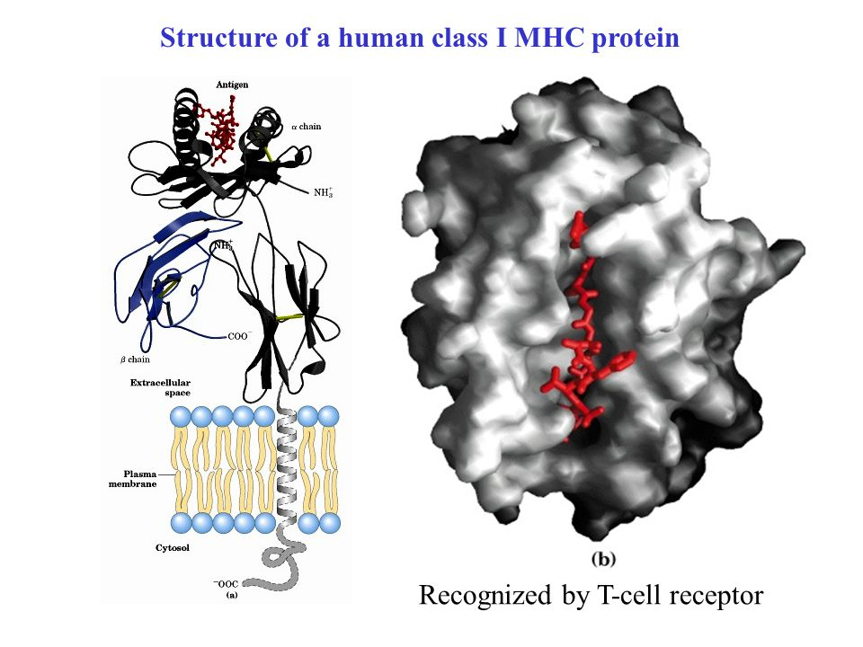 Structure of a human class I MHC protein Recognized by T-cell receptor