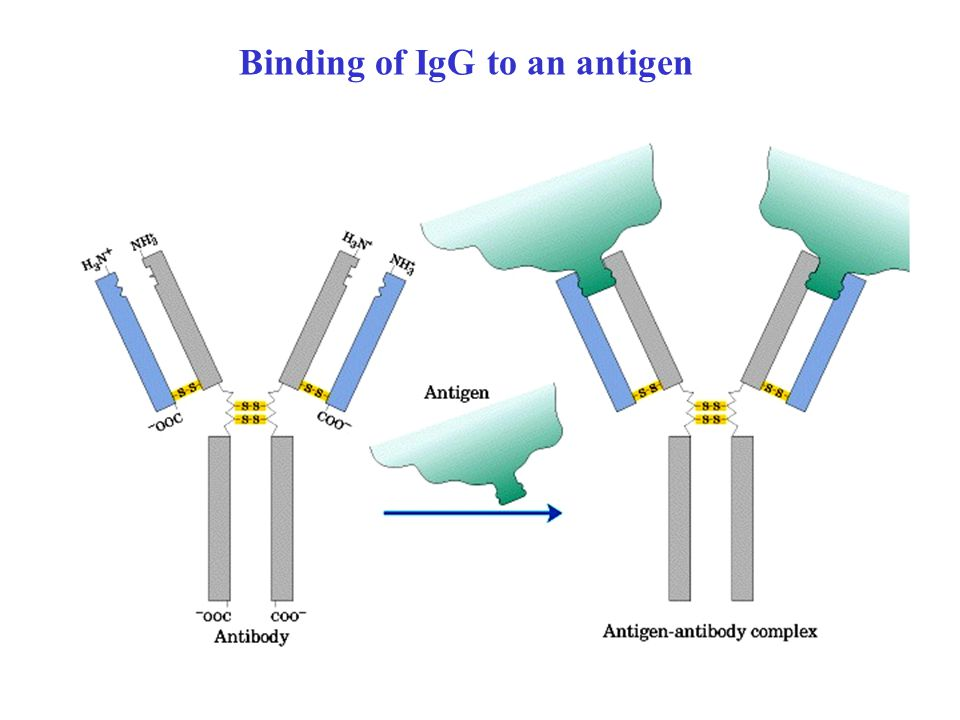 Binding of IgG to an antigen