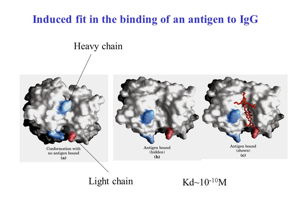 Induced fit in the binding of an antigen to IgG Heavy chain Light chain Kd~10 -10 M
