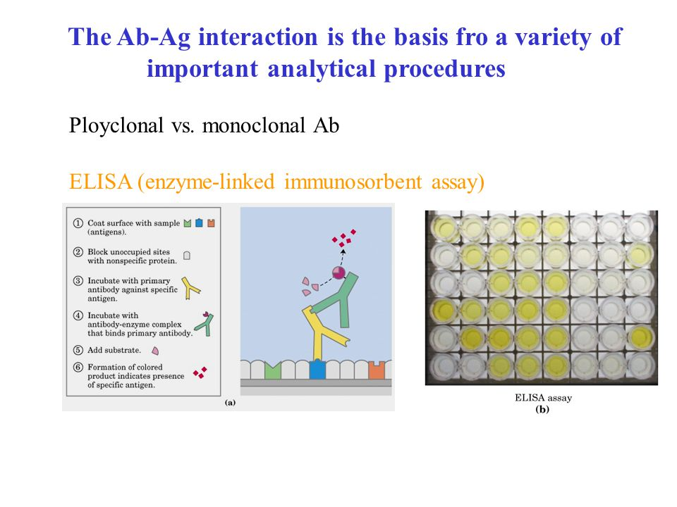 The Ab-Ag interaction is the basis fro a variety of important analytical procedures Ployclonal vs.