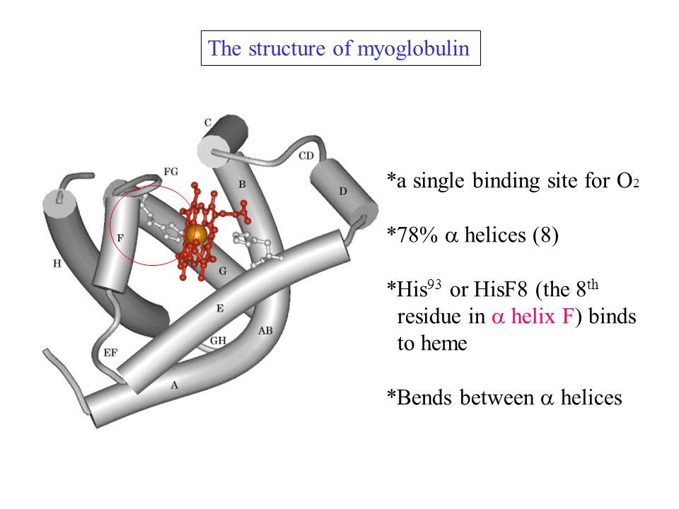 The structure of myoglobulin *a single binding site for O 2 *78%  helices (8) *His 93 or HisF8 (the 8 th residue in  helix F) binds to heme *Bends between  helices