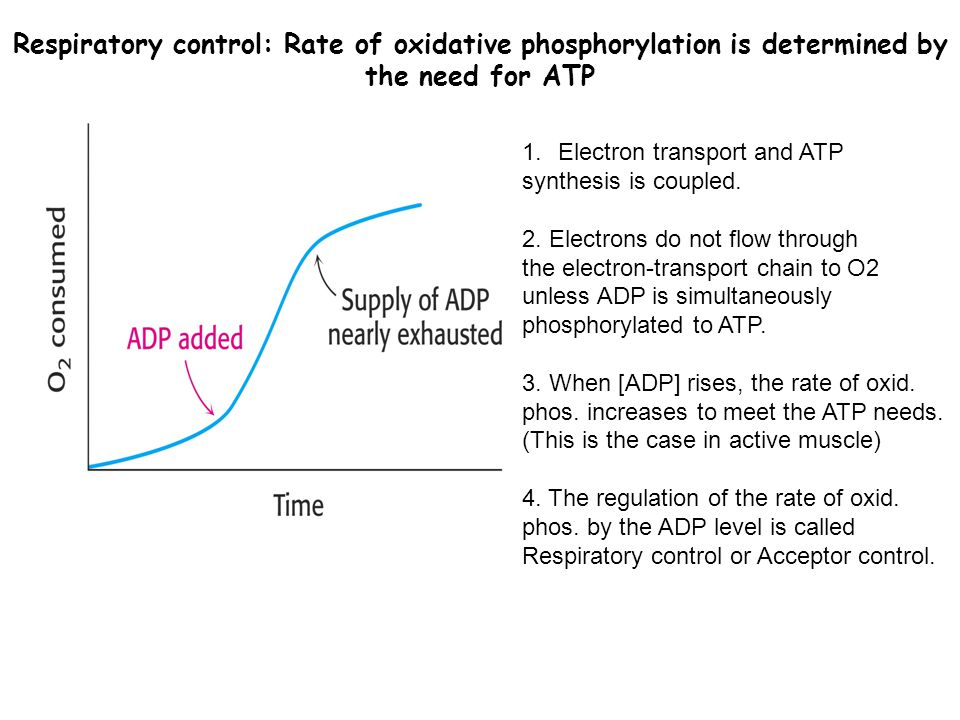 Respiratory control: Rate of oxidative phosphorylation is determined by the need for ATP 1.Electron transport and ATP synthesis is coupled. 2. Electro
