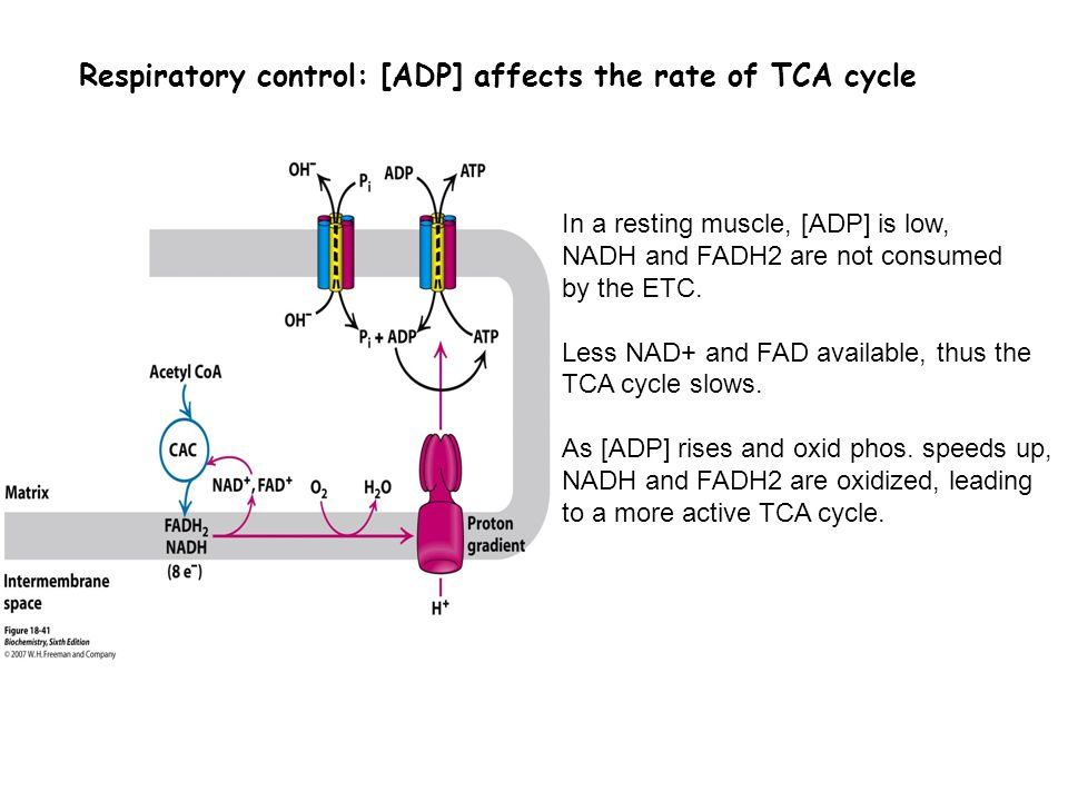 Respiratory control: [ADP] affects the rate of TCA cycle In a resting muscle, [ADP] is low, NADH and FADH2 are not consumed by the ETC. Less NAD+ and