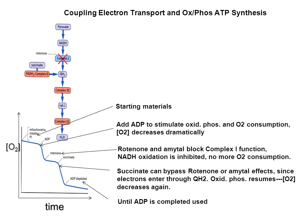 Coupling Electron Transport and Ox/Phos ATP Synthesis [O 2 ] [O 2 ] time Starting materials Add ADP to stimulate oxid. phos. and O2 consumption, [O2]