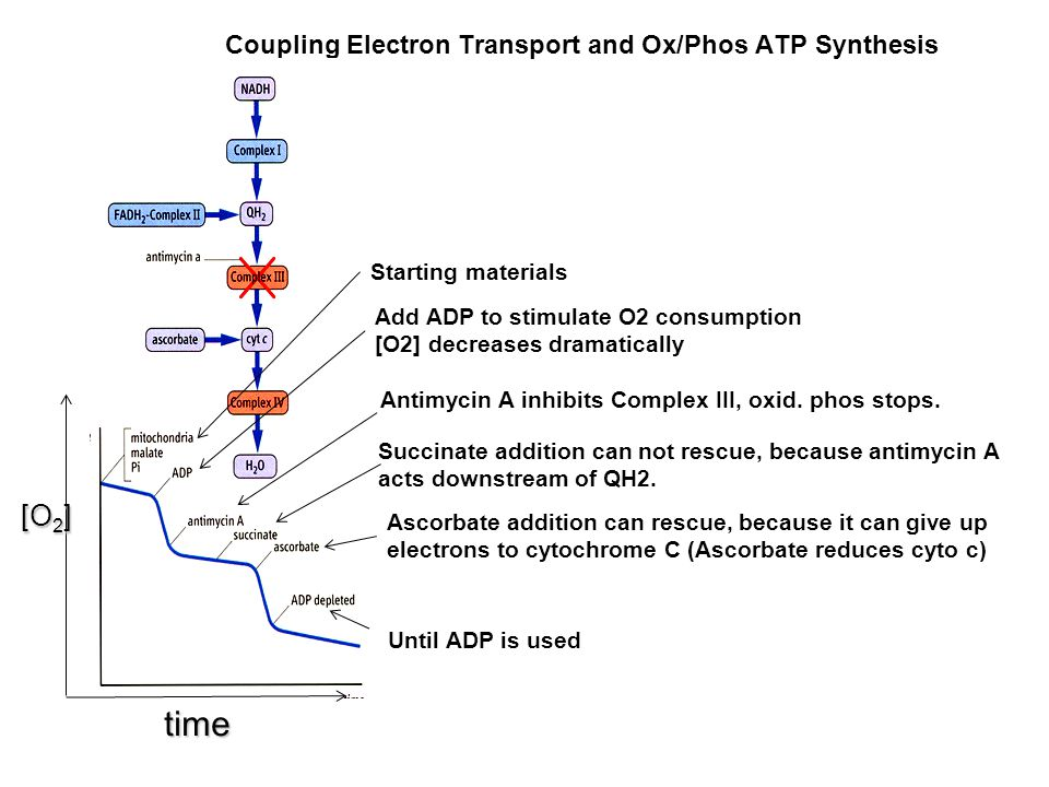 Coupling Electron Transport and Ox/Phos ATP Synthesis [O 2 ] [O 2 ] time Starting materials Add ADP to stimulate O2 consumption [O2] decreases dramati
