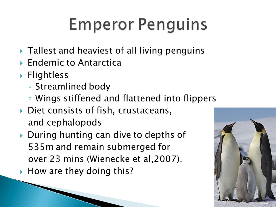  Tallest and heaviest of all living penguins  Endemic to Antarctica  Flightless ◦ Streamlined body ◦ Wings stiffened and flattened into flippers  Diet consists of fish, crustaceans, and cephalopods  During hunting can dive to depths of 535m and remain submerged for over 23 mins (Wienecke et al,2007).