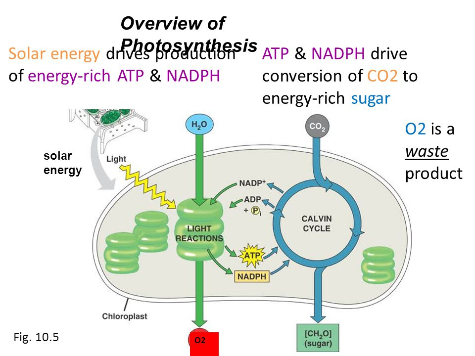Overview of Photosynthesis solar energy Solar energy drives production of energy-rich ATP & NADPH ATP & NADPH drive conversion of CO2 to energy-rich s
