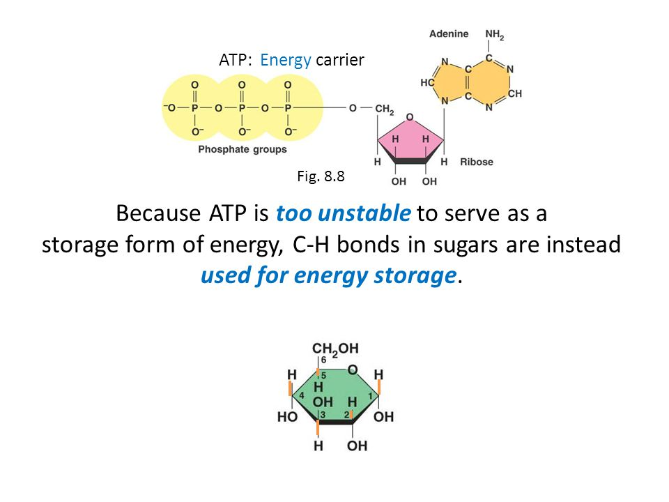Because ATP is too unstable to serve as a storage form of energy, C-H bonds in sugars are instead used for energy storage.