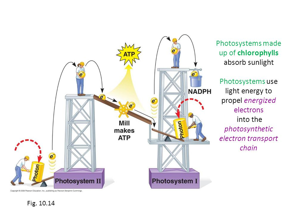 Photosystems made up of chlorophylls absorb sunlight Photosystems use light energy to propel energized electrons into the photosynthetic electron tran