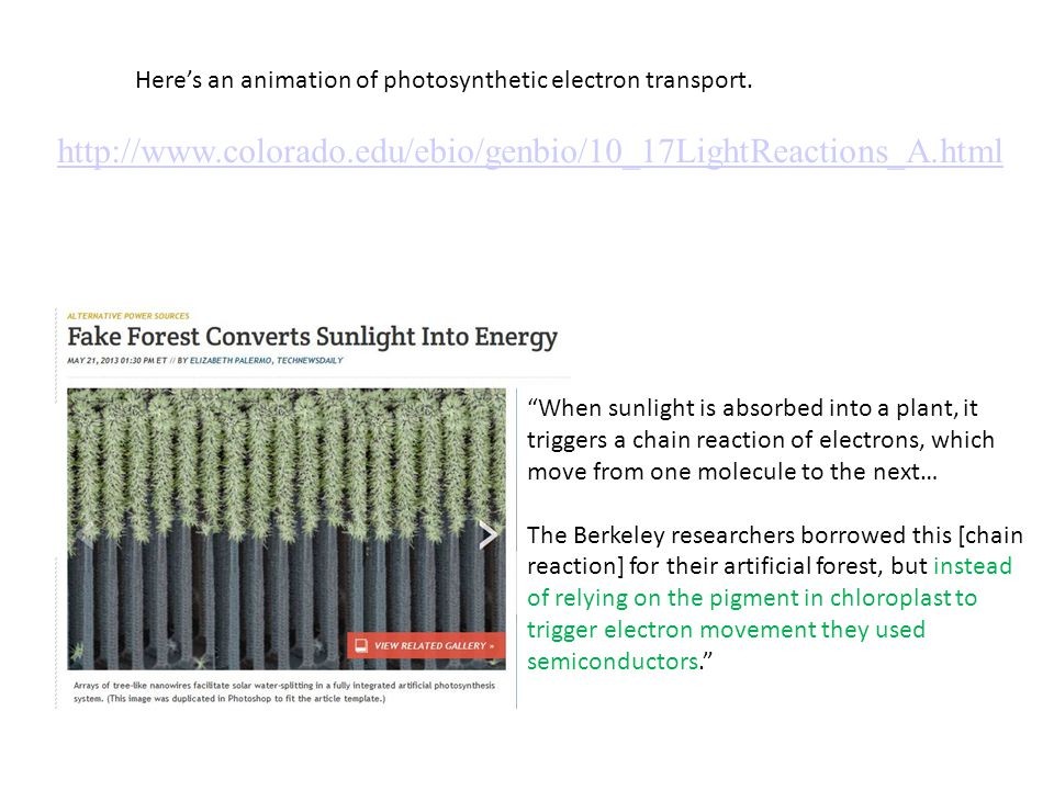 """Here's an animation of photosynthetic electron transport. http://www.colorado.edu/ebio/genbio/10_17LightReactions_A.html """"When sunlight is absorbed in"""