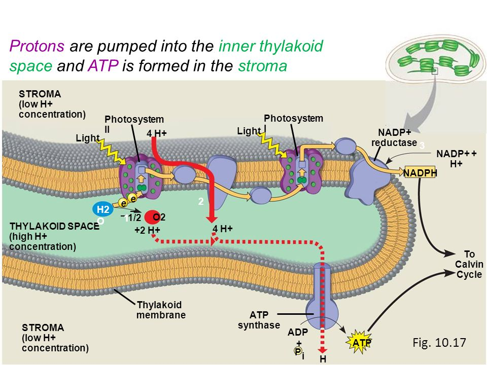 Protons are pumped into the inner thylakoid space and ATP is formed in the stroma Light ADP + i H+H+ ATP P synthase To Calvin Cycle STROMA (low H+ con