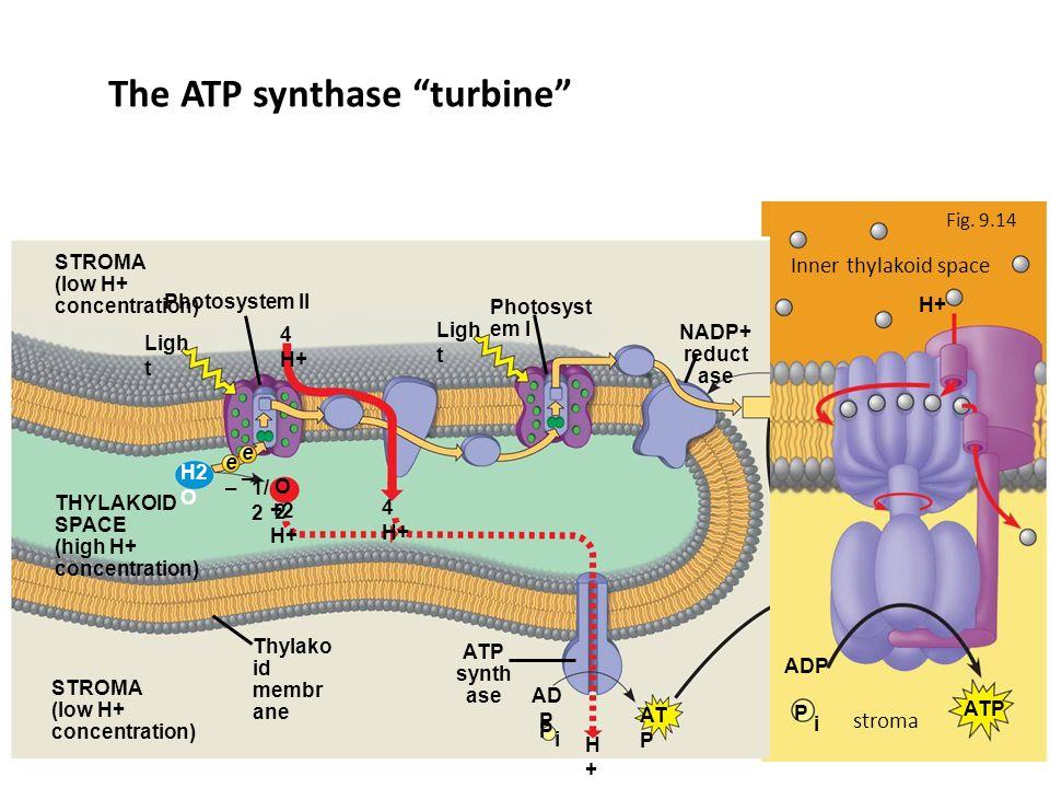 + P i H+ ADP ATP Fig.