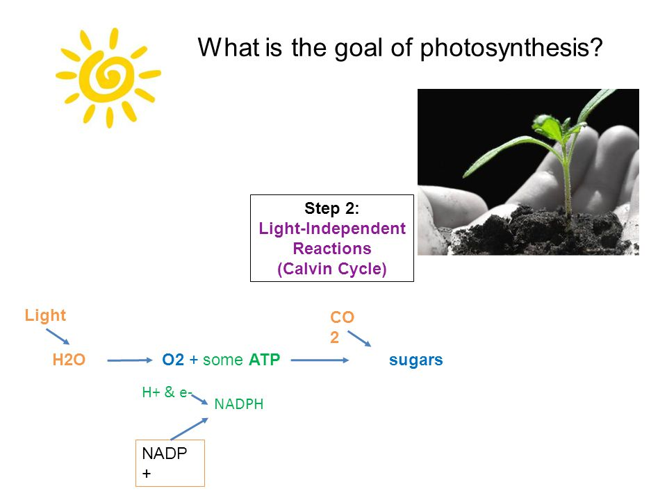 O2 + some ATPsugarsH2O CO 2 Light Step 2: Light-Independent Reactions (Calvin Cycle) H+ & e- NADP + NADPH What is the goal of photosynthesis
