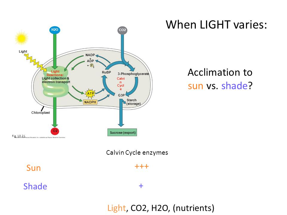 Light Reactions: Light collection & electron transport CO2 NADP + ADP P i + RuBP 3-Phosphoglycerate Calvi n Cycl e G3P ATP NADPH Starch (storage) Sucr