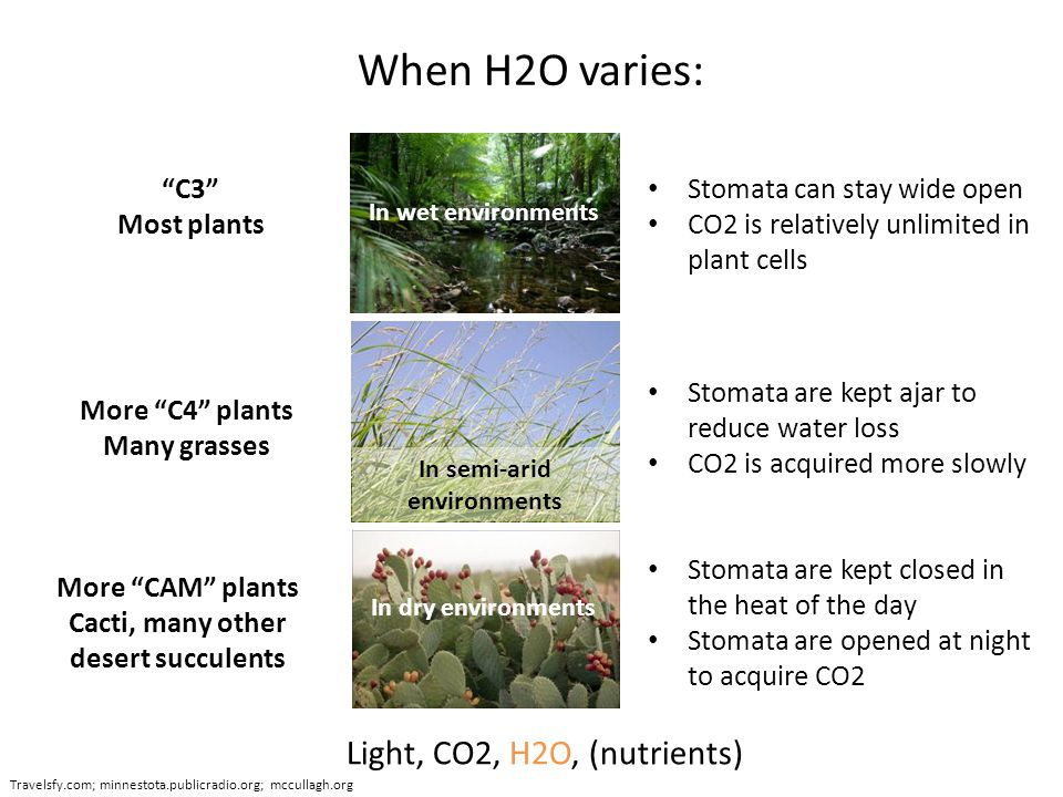 When H2O varies: Light, CO2, H2O, (nutrients) Travelsfy.com; minnestota.publicradio.org; mccullagh.org In wet environments Stomata can stay wide open