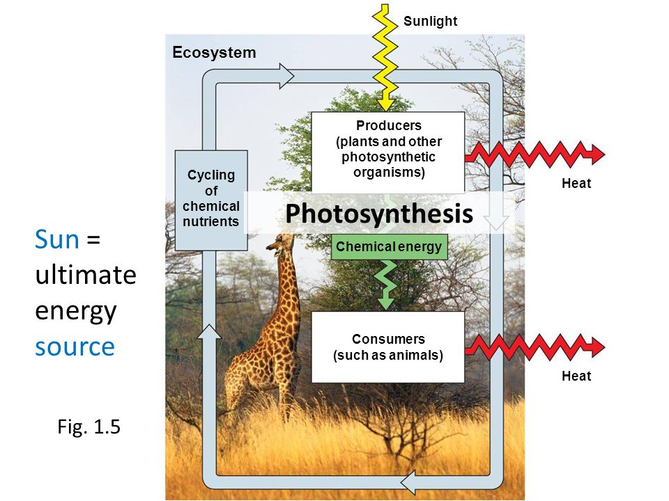 Fig. 1.5 Sunlight Ecosystem Heat Cycling of chemical nutrients Producers (plants and other photosynthetic organisms) Chemical energy Consumers (such a