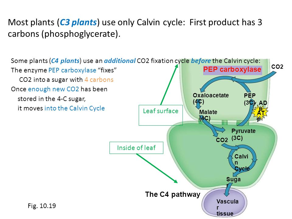 Most plants (C3 plants) use only Calvin cycle: First product has 3 carbons (phosphoglycerate). The C4 pathway CO2 PEP carboxylase Oxaloacetate (4C) Ma