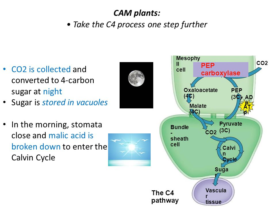 CAM plants: Take the C4 process one step further The C4 pathway Mesophy ll cell CO2 PEP carboxylase Oxaloacetate (4C) Malate (4C) PEP (3C) AD P AT P Pyruvate (3C) CO2 Bundle - sheath cell Calvi n Cycle Suga r Vascula r tissue CO2 is collected and converted to 4-carbon sugar at night Sugar is stored in vacuoles In the morning, stomata close and malic acid is broken down to enter the Calvin Cycle