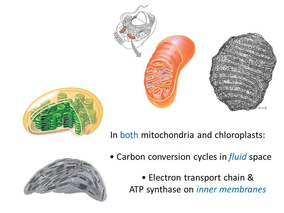 In both mitochondria and chloroplasts: Carbon conversion cycles in fluid space Electron transport chain & ATP synthase on inner membranes