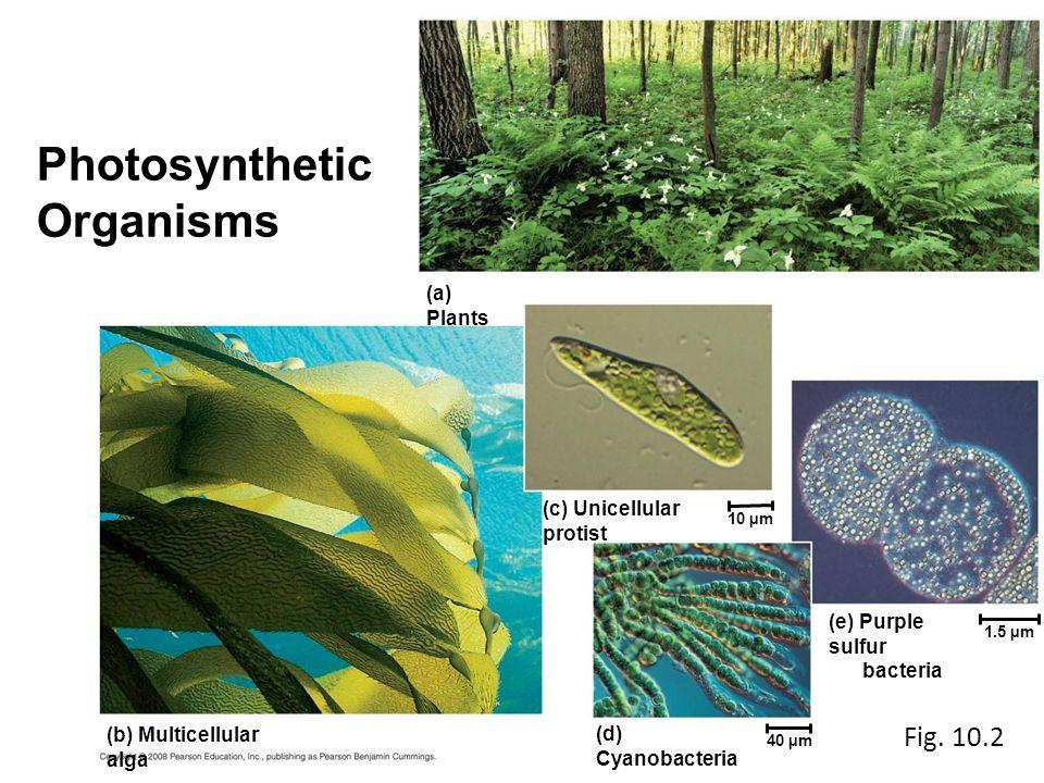 (a) Plants (c) Unicellular protist 10 µm 1.5 µm 40 µm (d) Cyanobacteria (e) Purple sulfur bacteria (b) Multicellular alga Photosynthetic Organisms Fig