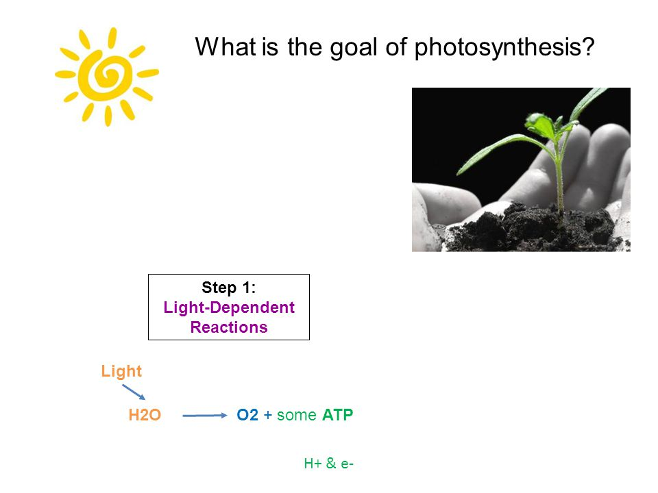 O2 + some ATPH2O H+ & e- Light Step 1: Light-Dependent Reactions What is the goal of photosynthesis