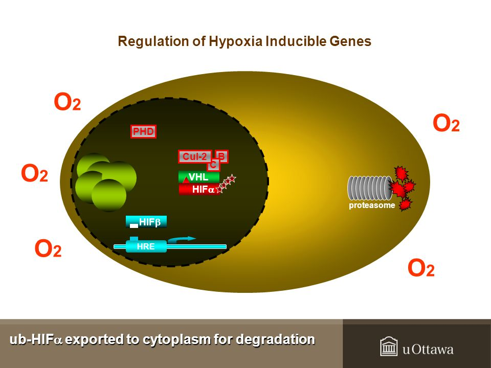 O2O2 O2O2 O2O2 O2O2 O2O2 B VHL C Cul-2 HIF  proteasome PHD HIF  HRE ub-HIF  exported to cytoplasm for degradation Regulation of Hypoxia Inducible Genes