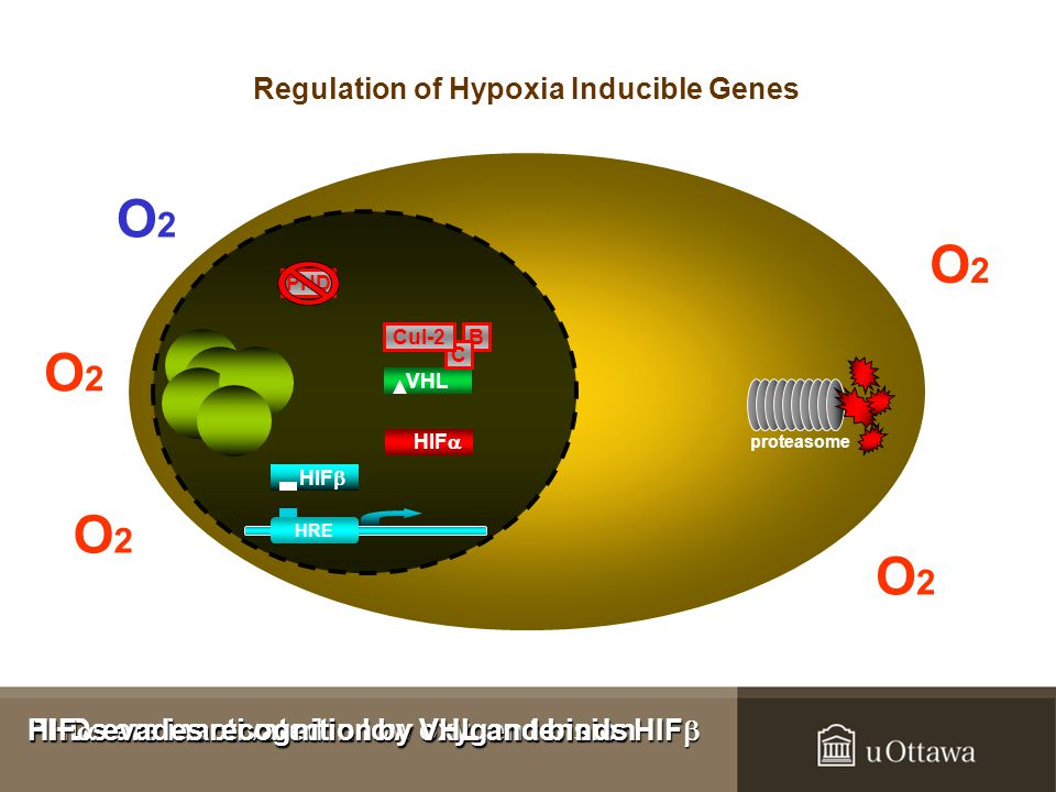 B VHL C Cul-2 proteasome PHD HIF  HRE HIF  PHDs are inactivated in low oxygen tension PHDs are inactivated in low oxygen tension HIF  evades recognition by VHL and binds HIF  HIF  evades recognition by VHL and binds HIF  O2O2 O2O2 O2O2 O2O2 O2O2 Regulation of Hypoxia Inducible Genes