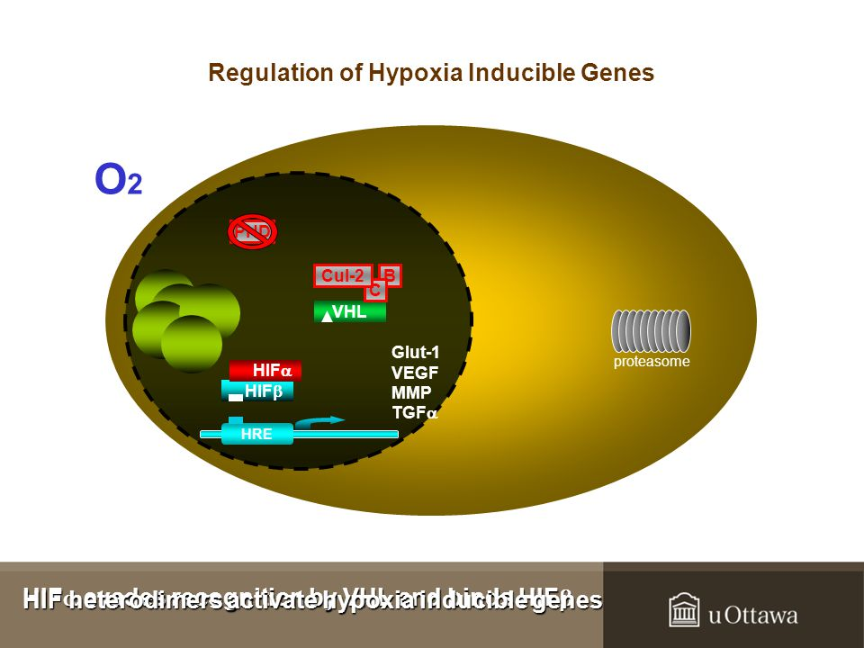 HIF  evades recognition by VHL and binds HIF  HIF  evades recognition by VHL and binds HIF  B VHL C Cul-2 proteasome PHD HIF  HIF  Glut-1 VEGF MMP TGF  HRE HIF heterodimers activate hypoxia inducible genes HIF heterodimers activate hypoxia inducible genes O2O2 Regulation of Hypoxia Inducible Genes