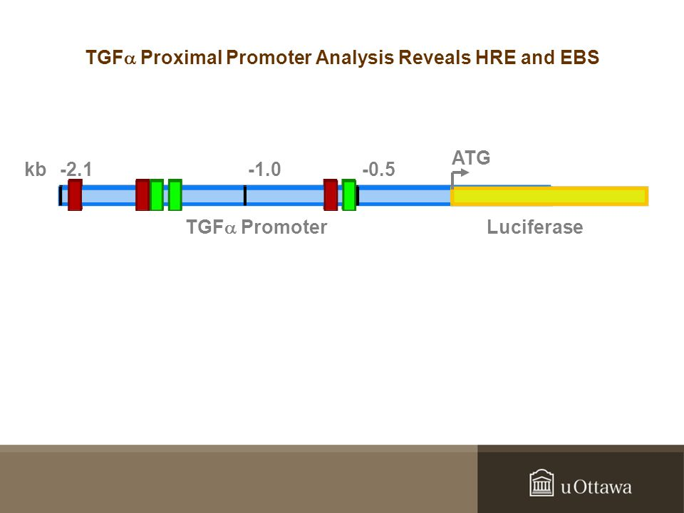 Luciferase kb-2.1-0.5 TGF  Promoter ATG TGF  Proximal Promoter Analysis Reveals HRE and EBS