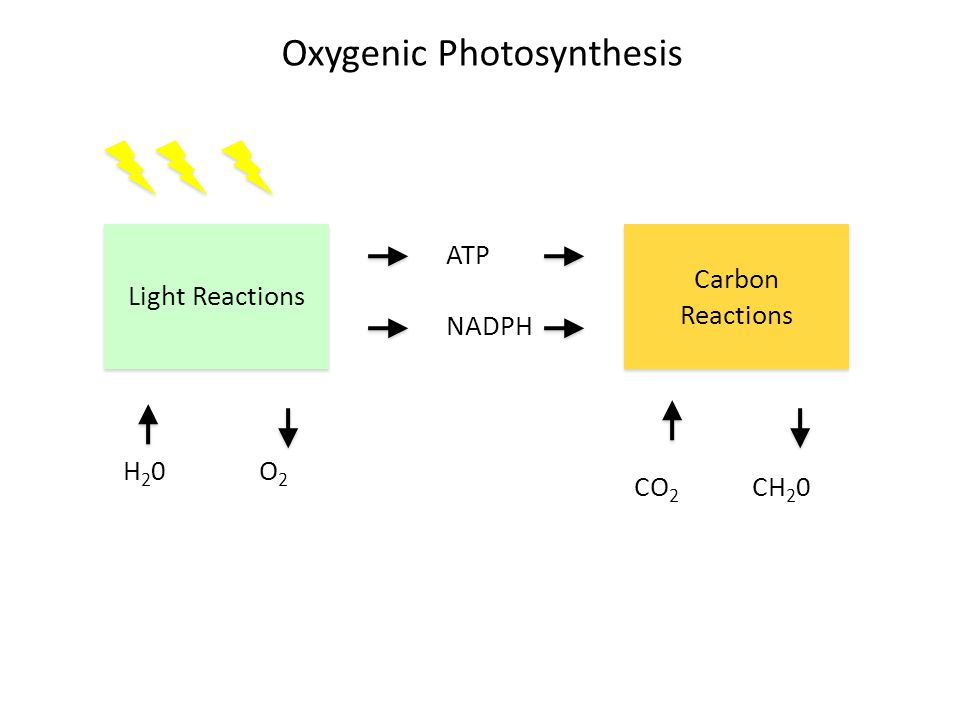 Oxygenic Photosynthesis Light Reactions ATP NADPH Carbon Reactions H 2 0 O 2 CO 2 CH 2 0