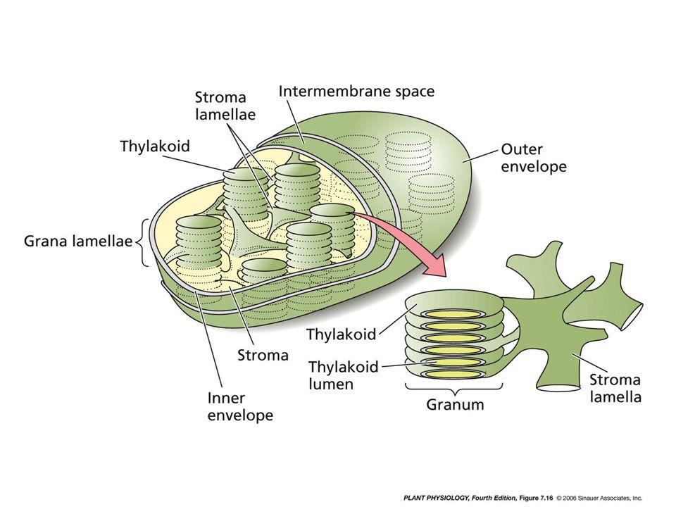 Chloroplast structure