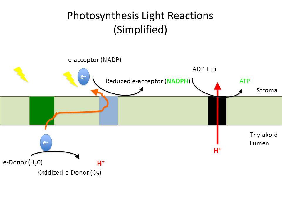 Photosynthesis Light Reactions (Simplified) e- e-Donor (H 2 0) Oxidized-e-Donor (O 2 ) e-acceptor (NADP) Reduced e-acceptor (NADPH) H+H+ H+H+ ADP + Pi ATP Thylakoid Lumen Stroma