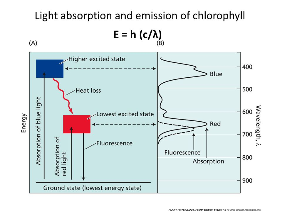 E = h (c/λ) Light absorption and emission of chlorophyll