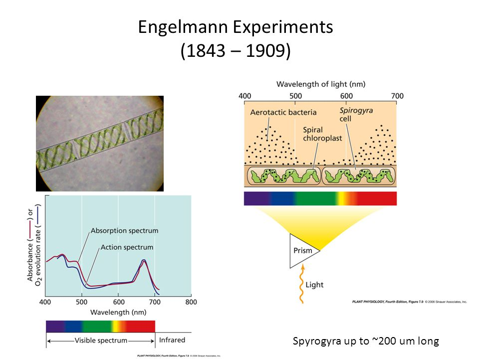 Engelmann Experiments (1843 – 1909) Spyrogyra up to ~200 um long