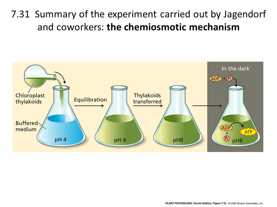 7.31 Summary of the experiment carried out by Jagendorf and coworkers: the chemiosmotic mechanism