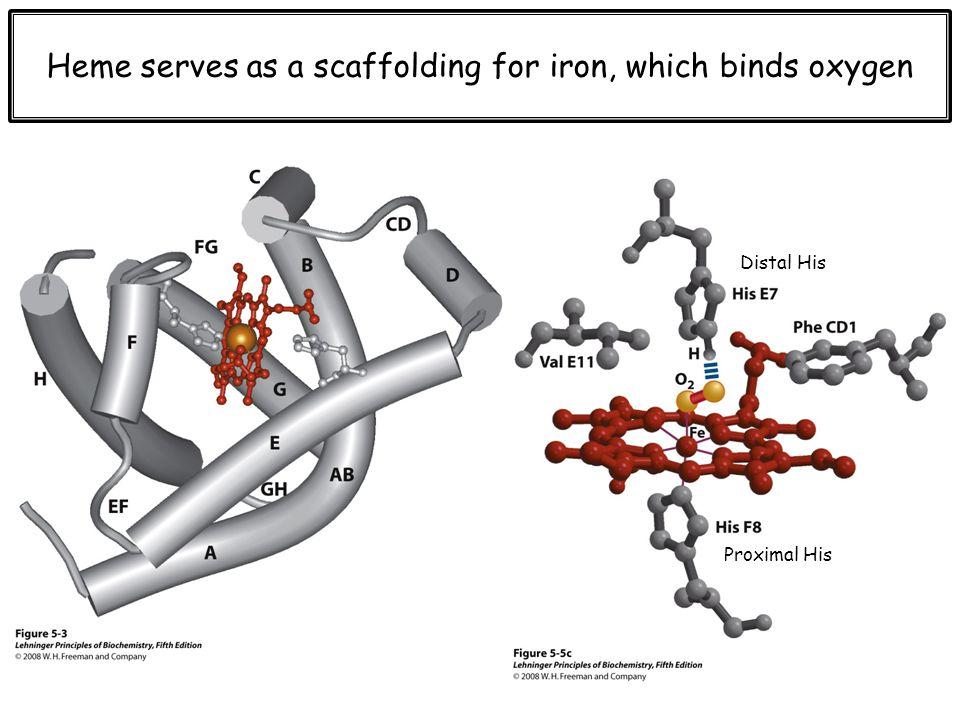 Numerous globin-heme interactions stabilize the complex