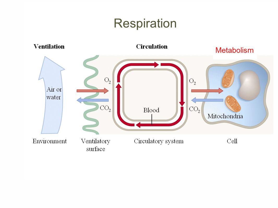 Respiration Metabolism