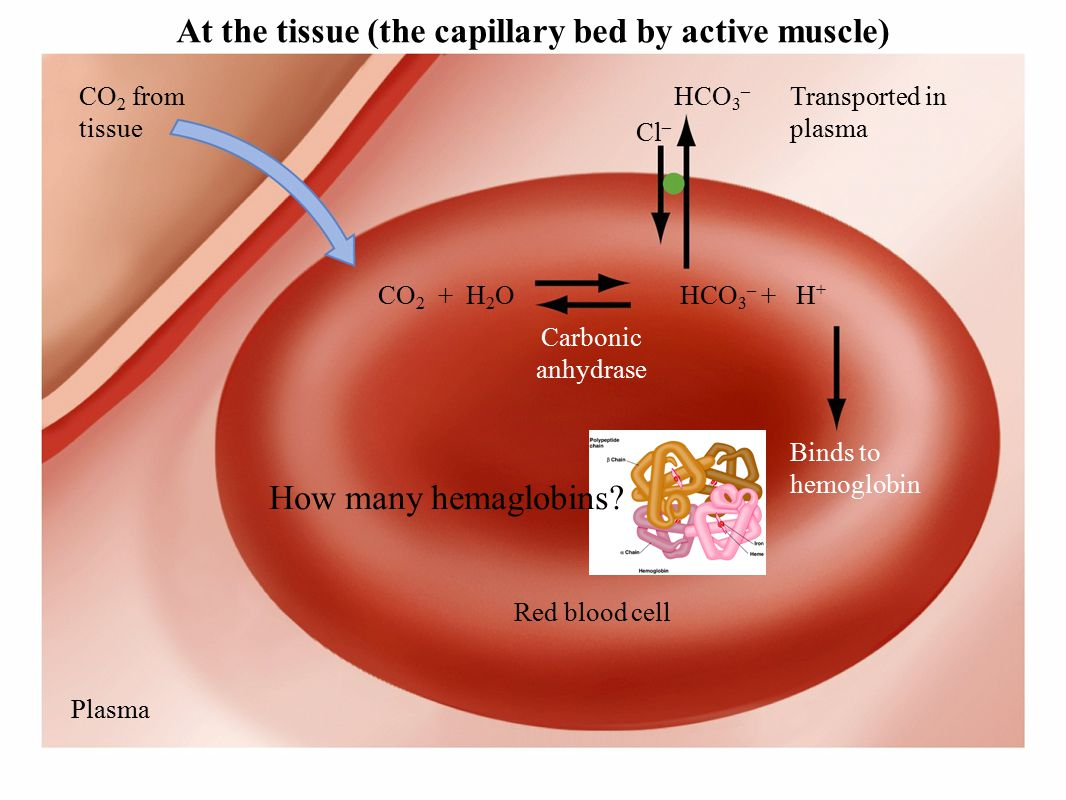 CO 2 from tissue CO 2 + H 2 O HCO 3 – + H + Cl – HCO 3 – Red blood cell Plasma Transported in plasma Carbonic anhydrase Binds to hemoglobin At the tissue (the capillary bed by active muscle) How many hemaglobins
