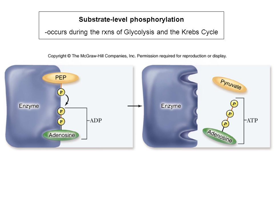 Substrate-level phosphorylation -occurs during the rxns of Glycolysis and the Krebs Cycle