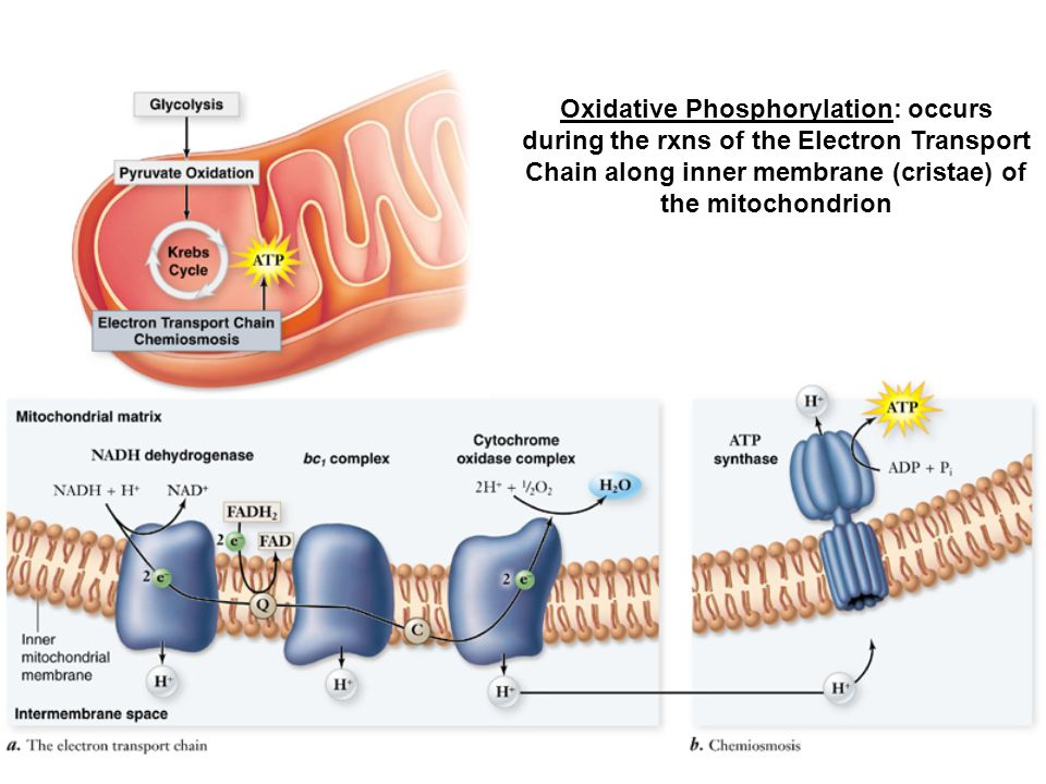 Oxidative Phosphorylation: occurs during the rxns of the Electron Transport Chain along inner membrane (cristae) of the mitochondrion