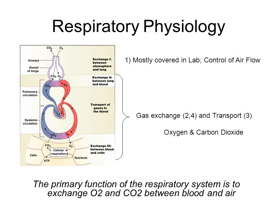 Respiratory Physiology The primary function of the respiratory system is to exchange O2 and CO2 between blood and air 1) Mostly covered in Lab; Control of Air Flow Gas exchange (2,4) and Transport (3) Oxygen & Carbon Dioxide