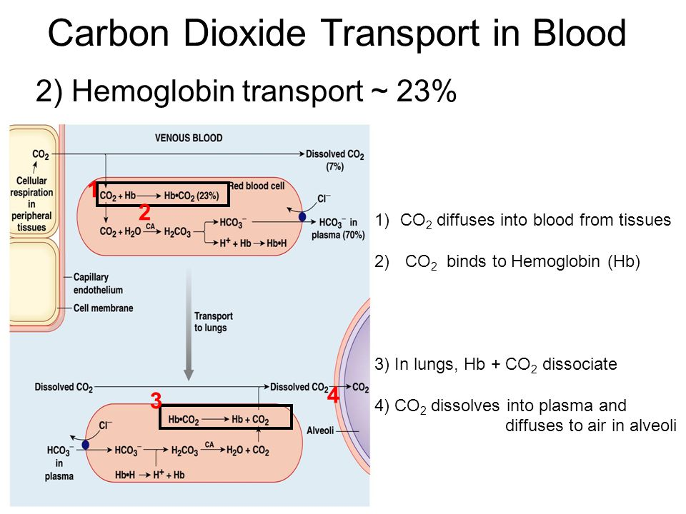 2) Hemoglobin transport ~ 23% Carbon Dioxide Transport in Blood 1)CO 2 diffuses into blood from tissues 2) CO 2 binds to Hemoglobin (Hb) 3) In lungs, Hb + CO 2 dissociate 4) CO 2 dissolves into plasma and diffuses to air in alveoli 1 2 3 4