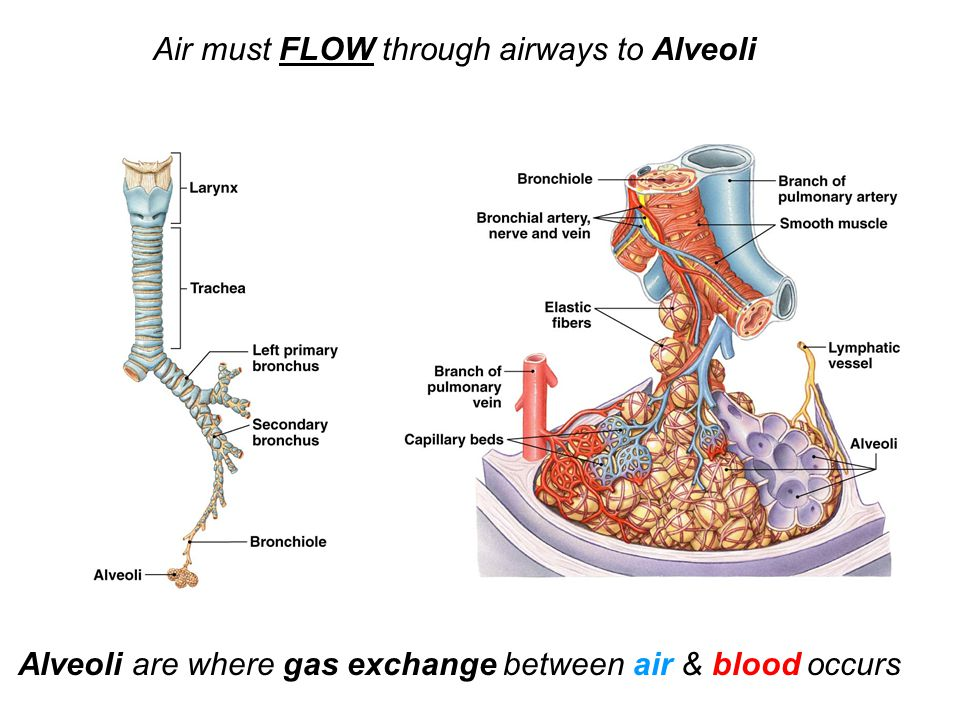 Air must FLOW through airways to Alveoli Alveoli are where gas exchange between air & blood occurs