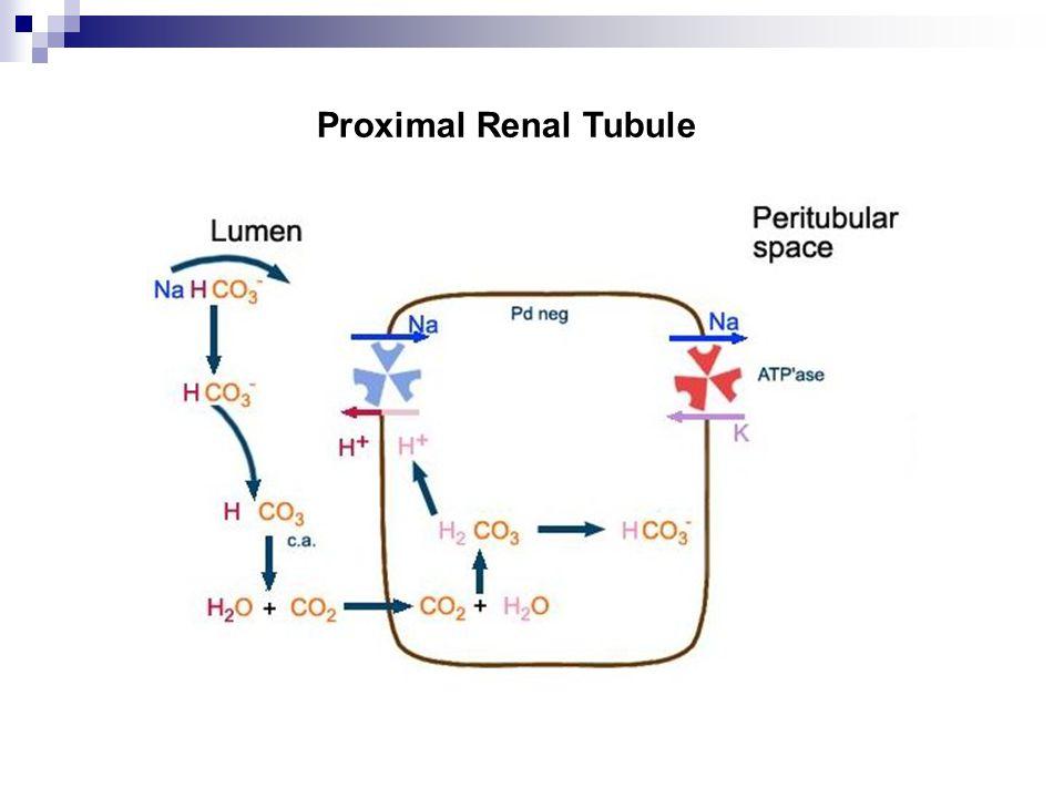 Proximal Renal Tubule