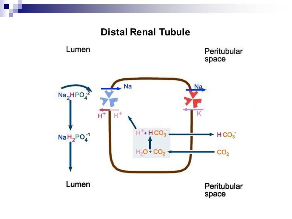 Distal Renal Tubule