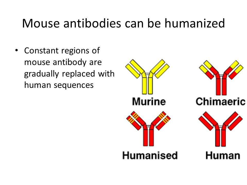 Mouse antibodies can be humanized Constant regions of mouse antibody are gradually replaced with human sequences