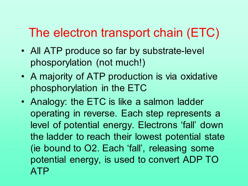 The electron transport chain (ETC) All ATP produce so far by substrate-level phosporylation (not much!) A majority of ATP production is via oxidative