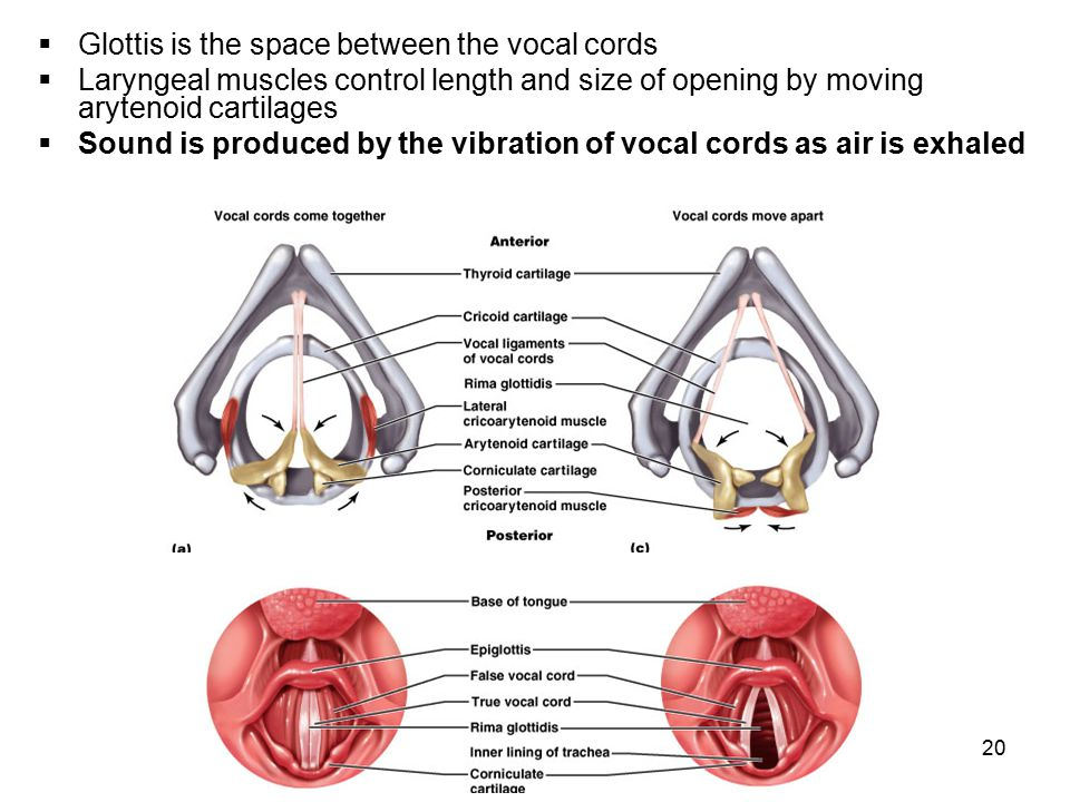 20  Glottis is the space between the vocal cords  Laryngeal muscles control length and size of opening by moving arytenoid cartilages  Sound is pro