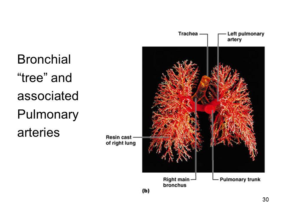 "30 Bronchial ""tree"" and associated Pulmonary arteries"